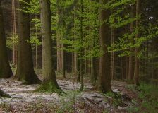 Austria: stable spruce prices, while sawmills are in short supply