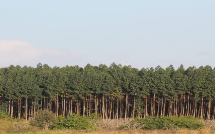 Brazilian processed plantation timbers exports on steady increase