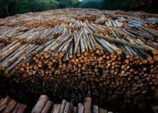 Eucalyptus pulplog prices in Brazil at their lowest levels in three years