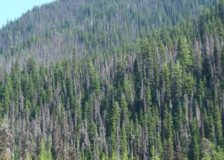 German forests decimated by the bark beetle, drought