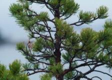Finnish pine finds weak Chinese market